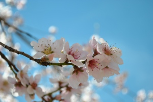 Springtime Peach Blossoms